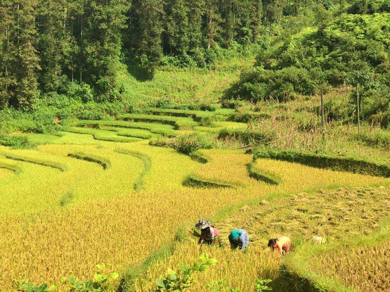 Người dân bắt đầu gặt lúa