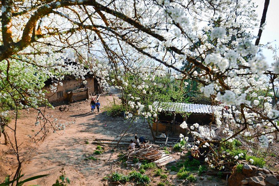 Mùa hoa táo mèo, hoa lê ở Y Tý